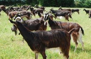 Elevage de chèvre dans les pâturages