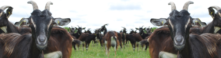 Nos chèvres Poitevines